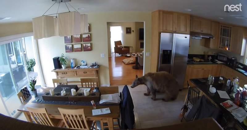 A bear wanders inside a California home.