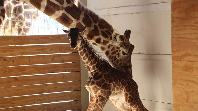 """April's labor began at approximately 7:20 am this morning and the calf was born at Animal Adventure in Harpursville, NY on Saturday, April 15, 2017 at 9:53 am. Over 1,200,000 viewers, from around the world viewed the birth in real-time courtesy of Animal Adventure's live stream. This is April's fourth calf and Oliver's first, and is also the first giraffe ever born at Animal Adventure.  """"His entrance into the world was unnerving to even those of us who have witnessed animal births previously,"""" said Animal Adventure Park owner, Jordan Patch. """"Giraffes give birth standing up, which means when the calf is ready to be born, it exits its mother hooves first from six feet off the floor, making for a very exciting event! After many months of pregnancy, both mom and calf are doing fine.""""  April will naturally raise her baby, which is expected to be with Animal Adventure for at least the 2017 season as weaning can take up to 14 months."""