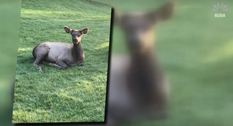 Elk encounter injures golfer.