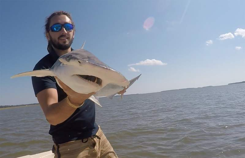 In this Sept. 2015 photo taken by Colby Griffiths on the North Edisto River in South Carolina, scientist Bryan Keller holds a bonnethead shark. Keller is among a group of scientists that found sharks use the Earths magnetic field as a sort of natural GPS when they navigate journeys that take them thousands of miles across the worlds oceans. (Photo courtesy Bryan Keller via AP)