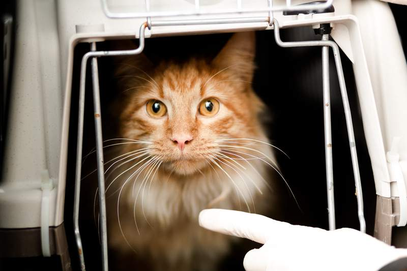 A cat getting the care she needs at Houston SPCA