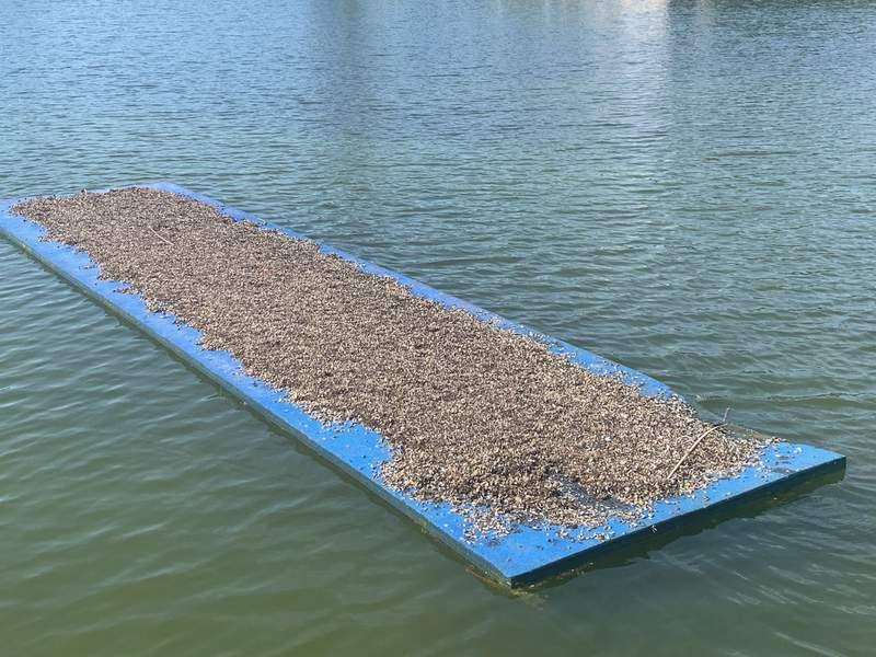 Zebra mussels on the bottom of a float at Lake Lyndon B. Johnson