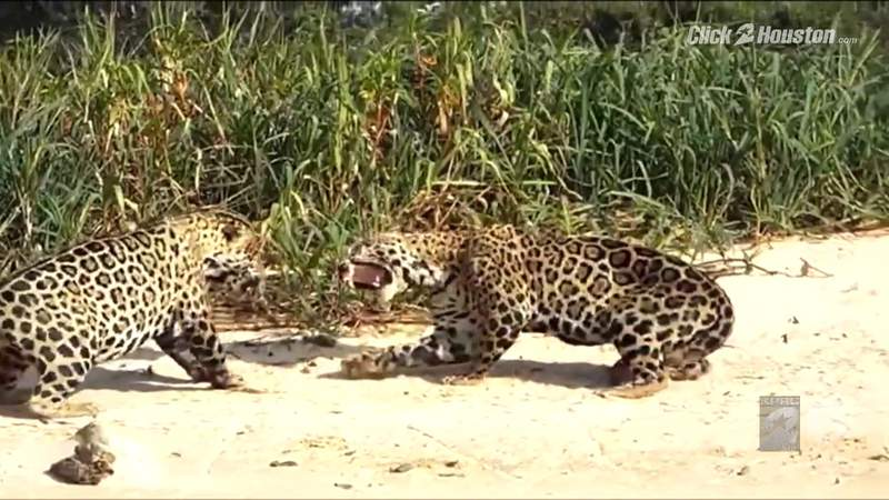 Saving Wildlife: Giants of the Pantanal