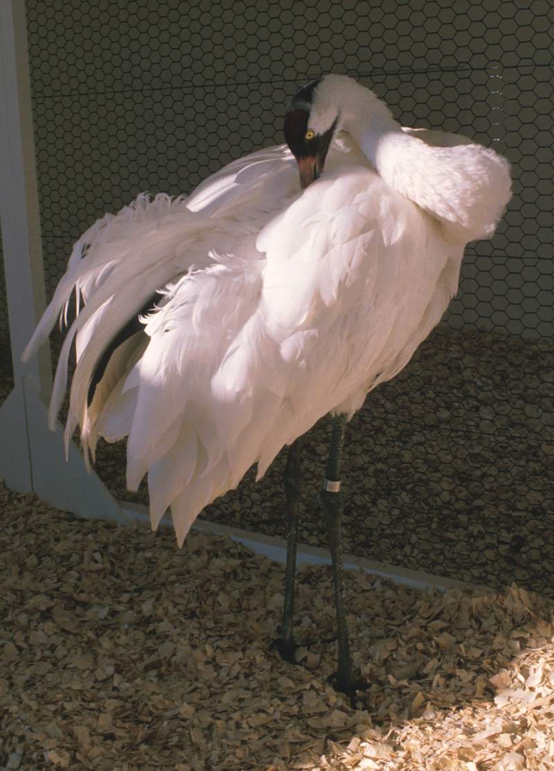 In this photo provided by the International Crane Foundation, shows Gee Whiz, the first whooping crane hatched at the International Crane Foundation in Baraboo, Wis. Gee Whiz died on Feb. 24, 2021, at more than 38 years old. Gee Whiz was the fifth whooping crane to call the foundation home and sired 178 cranes. (David H. Thompson/International Crane Foundation via AP)