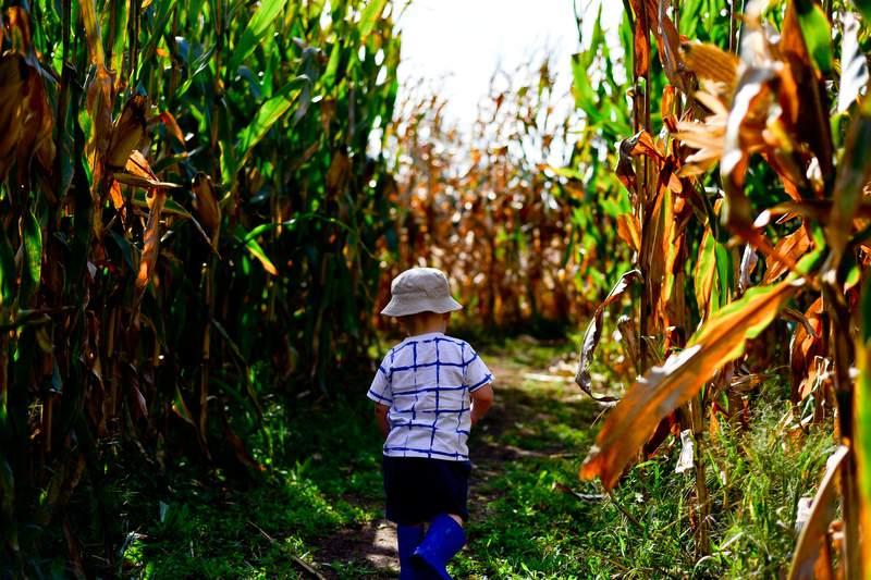 Stock image of a child walking through a corn maze