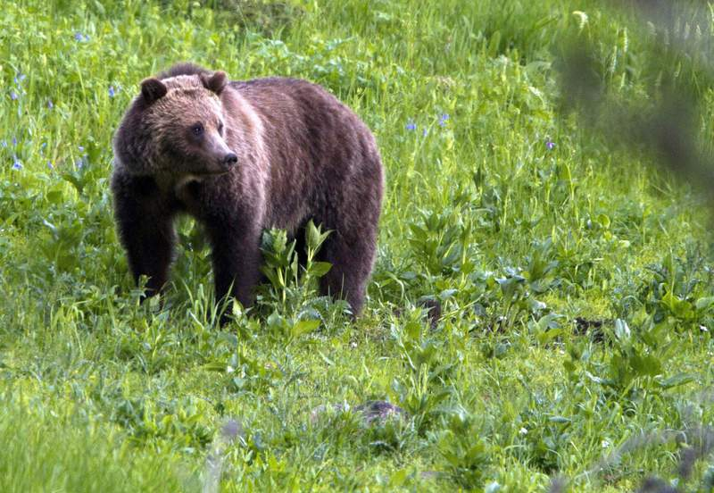 FILE - In this July 6, 2011, file photo, a grizzly bear roams near Beaver Lake in Yellowstone National Park, Wyo. Wildlife managers are offering an up to $2,000 reward for information about the illegal killing of a grizzly bear in central Wyoming. Grizzlies in the Yellowstone region are federally protected as a threatened species. Illegally killing one is punishable by up to six months in prison and a $25,000 fine. (AP Photo/Jim Urquhart, File)