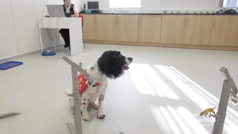 Trials are taking place in the UK to see whether specially trained airport sniffer dogs could detect Covid-19 in travelers, even before symptoms appear.