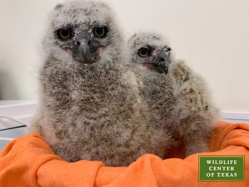 Houston Wildlife Center rescues first baby Great Horned Owls of the season.
