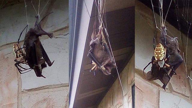 Bat found trapped in massive spider's web in Poteet (KSAT)