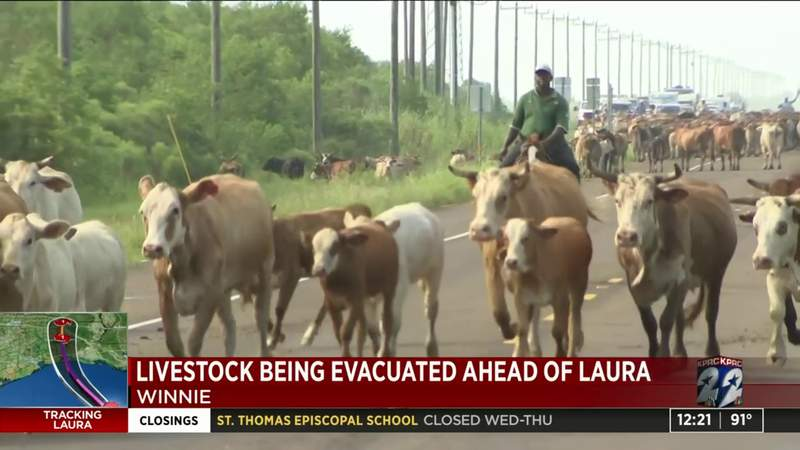 Livestock being evacuated from Winnie ahead of Laura