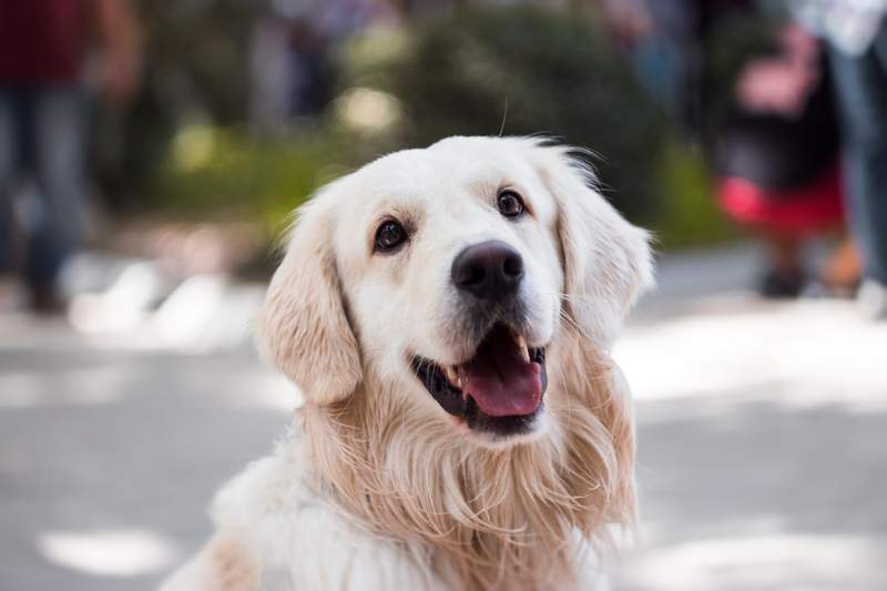 Stock image of a golden retriever. This is not Wally.