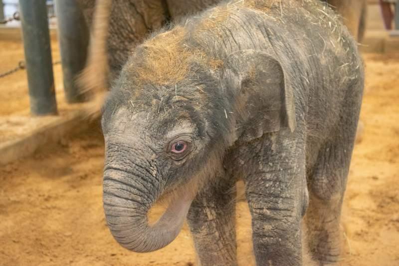 Newborn Asian elephant Teddy