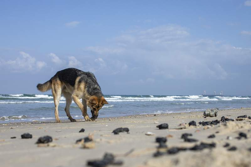 A dog smells pieces of tar from an oil spill in the Mediterranean Sea, on a beach in the Gdor Nature Reserve near Michmoret, Israel, Monday, March 1, 2021. The cleanup from the disastrous oil spill that has blackened most of the country's shoreline is expected to take months. (AP Photo/Ariel Schalit)