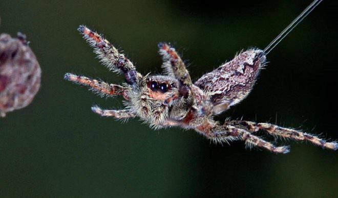 Baby flying spider