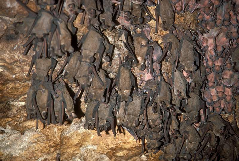 Roosting Mexican-free tailed bats