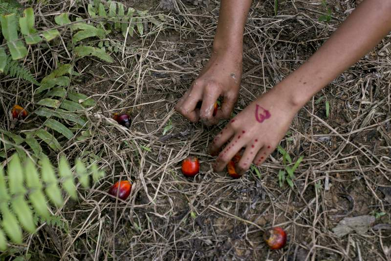 FILE - In this Nov. 13, 2017, file photo, a child collects palm kernels from the ground at a palm oil plantation in Sumatra, Indonesia. Indonesia is the world's largest palm oil producer. The Girl Scouts of the USA said Wednesday, Dec. 30, 2020, that child labor has no place in its iconic cookies and called on the two companies that bake them to act quickly to address any potential abuses linked to the palm oil in their supply chains. (AP Photo/Binsar Bakkara, File)