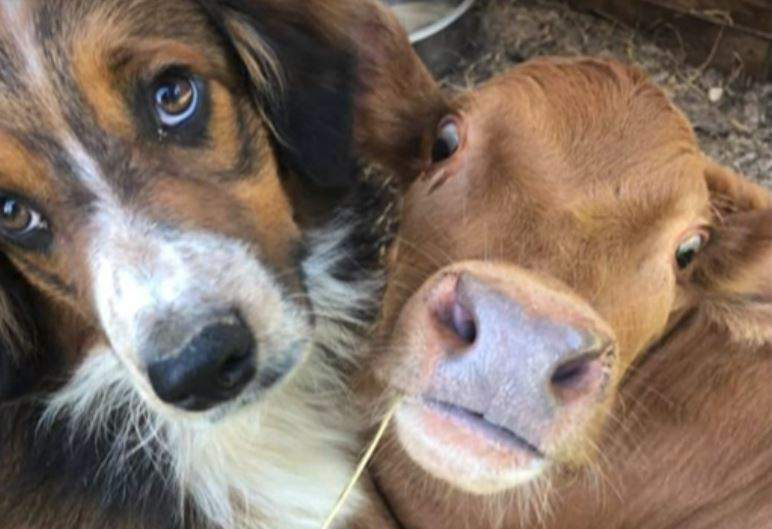 A calf and a cattle dog have formed an inseparable bond.
