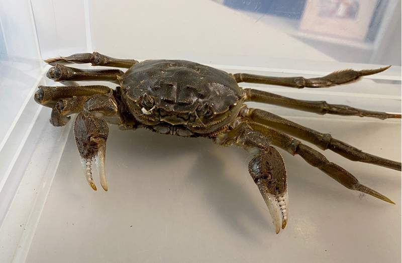 This handout photo provided by the Police Headquarters Freiburg in Freiburg, Germany, Thursday, Oct. 8, 2020 shows a Chinese mitten crab that was caught by a police officer in an apartment in Freiburg. Police in southern Germany say a woman got a shock while airing out her home when a 25-centimeter (10-inch) Chinese mitten crab scurried in from the terrace through the open door. (Police Headquarters Freiburg via AP)