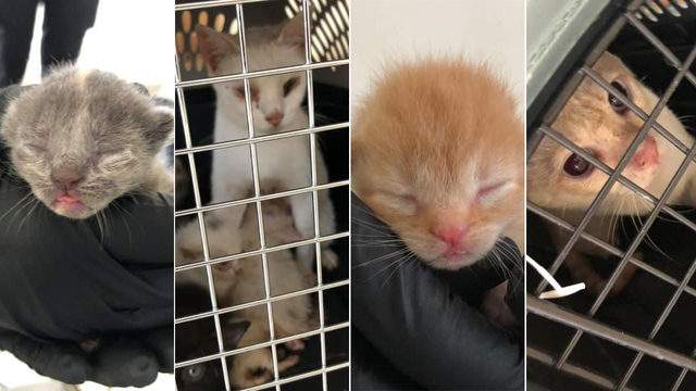 Some of the cats that were seized from a northwest Harris County, Texas, home are seen in these photos released by the Harris County Precinct 1 Constable's Office on Aug. 26, 2019.