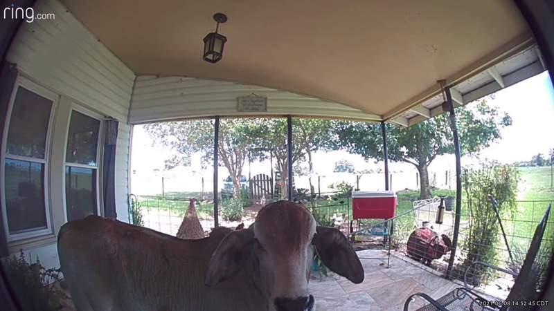 Click2Pins - Cow Rings Doorbell.mp4