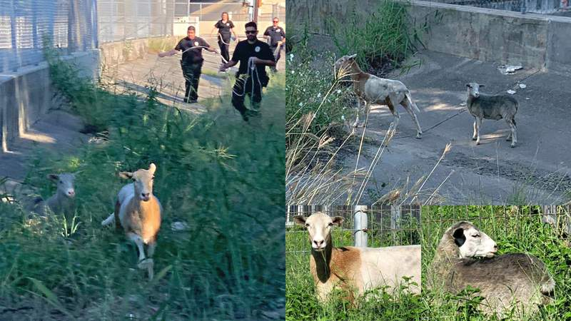 Sheep on the lam-b! Baaad boys escape enclosure, lead officers on highway-adjacent chase