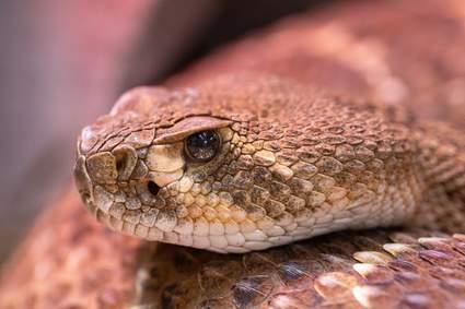 Texas Wild Snakes Lessons For Living Alongside The Venomous And Non Venomous Predators