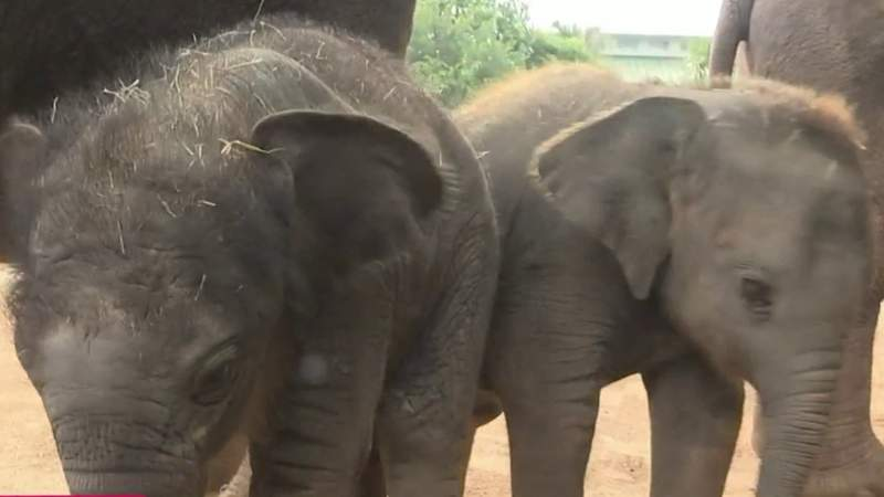 New baby elephants join the Houston Zoo   HOUSTON LIFE   KPRC 2