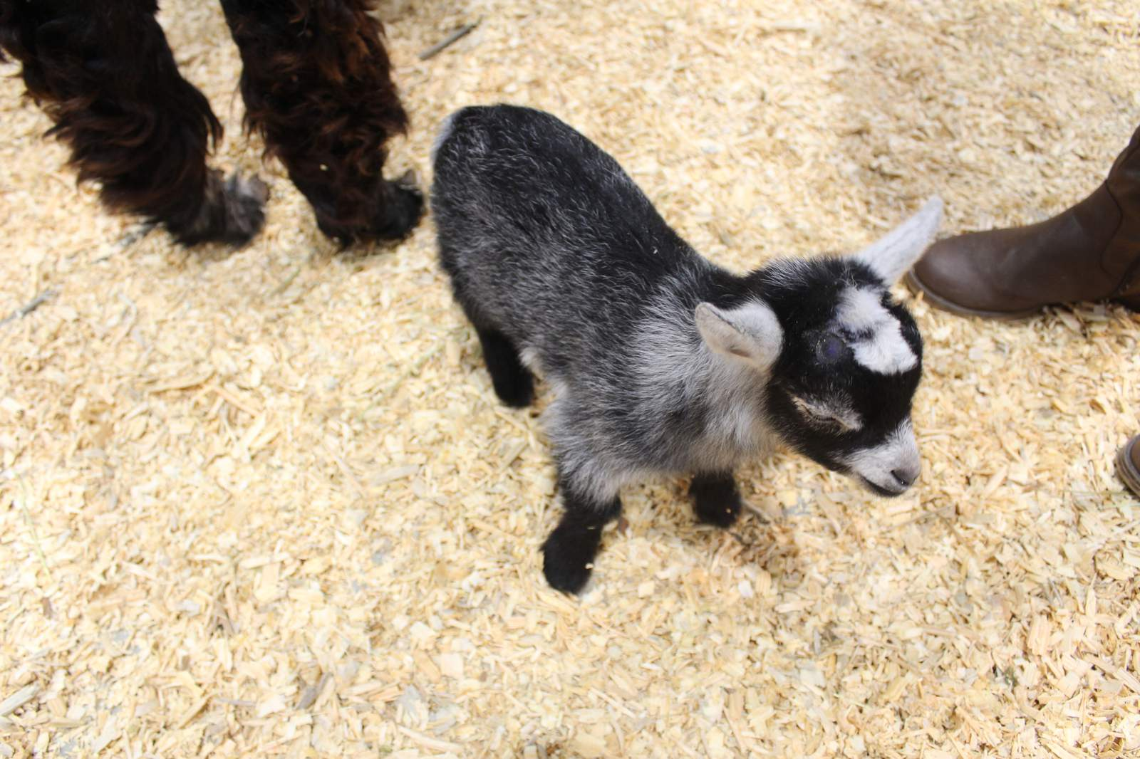 These Are Just A Few Of The Adorable Baby Animals You Can See Pet At Rodeohouston