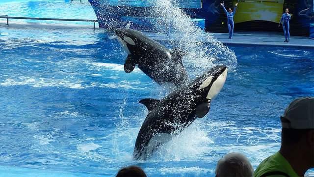 Whales at SeaWorld San Antonio.