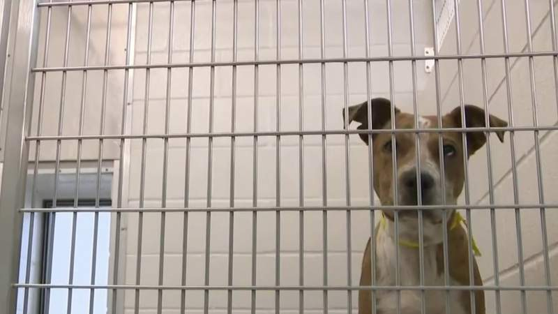 Shelter surge: 'Harris County Pets' over capacity