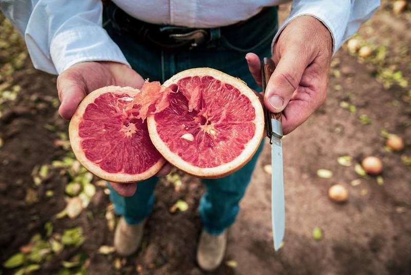 Dale Murden, president of Texas Citrus Mutual, slices into a fruit damaged by last week's winter storm. Murden's orchard, located near Harlingen in the Rio Grande Valley, suffered significant freeze damage.                   (Credit: Jason Garza for The Texas Tribune)