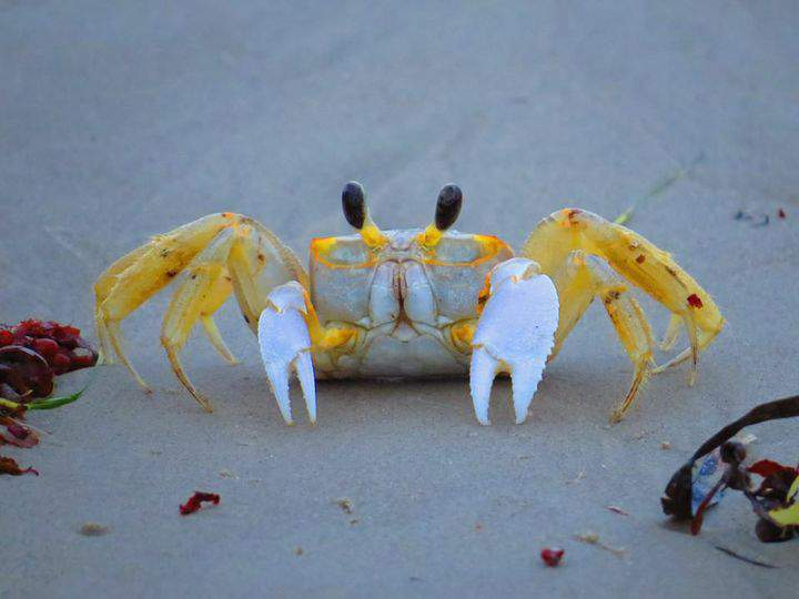 Ghost crab photo from National Park Service