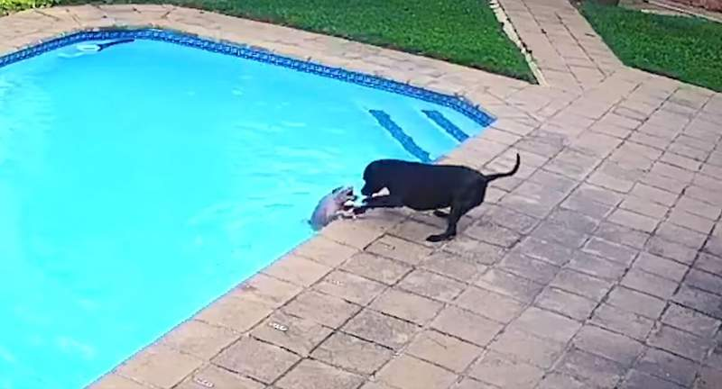 Jessie (right) attempts to save Chucky, the Pomeranian, from drowning in their owner's swimming pool in this still photo from a viral online posting.