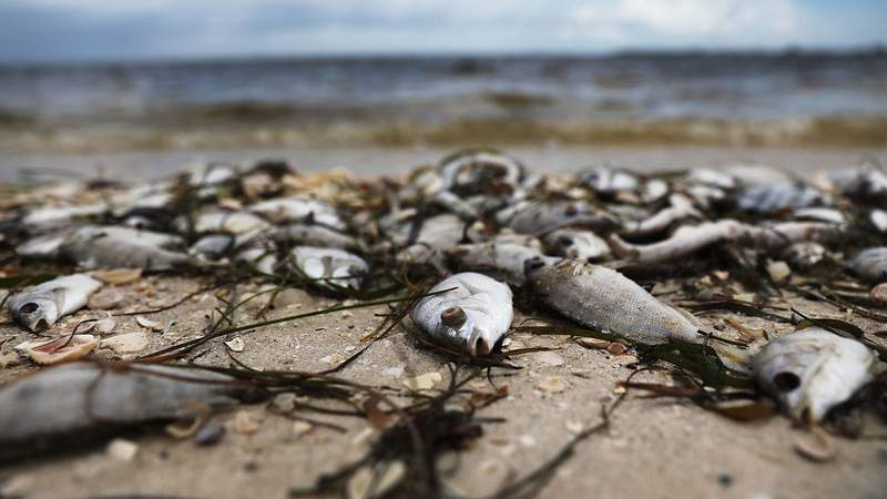 Red tide season usually lasts from October to around February, but the current red tide has stayed along the coast for around 10 months, killing massive amounts of fish as well as sea turtles, manatees and a whale shark swimming in the area. Photo by Joe Raedle/Getty Images