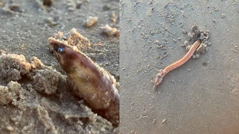 Shrimp eel