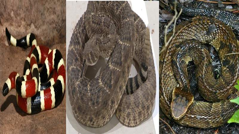 Coral snake, rattlesnake and water moccasin are the most venomous snakes in South Texas.