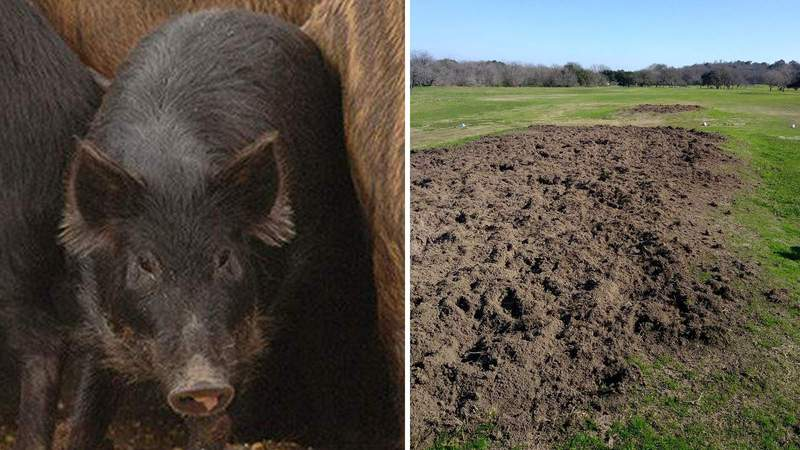 Wild hogs (stock) and damage from the Lockhart State Park. (KSAT)