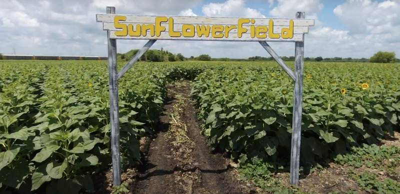 A 10-acre sunflower field is now open at Traders Village in San Antonio.