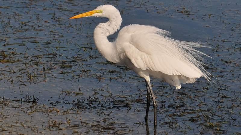 Grand egret
