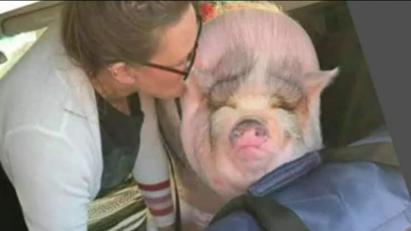 Questions for police after stolen pig's death