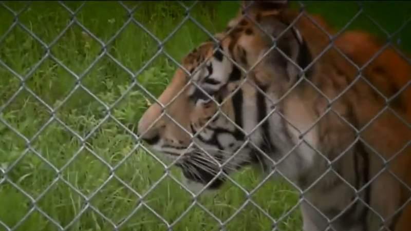 Visiting India the Tiger at Texas animal sanctuary