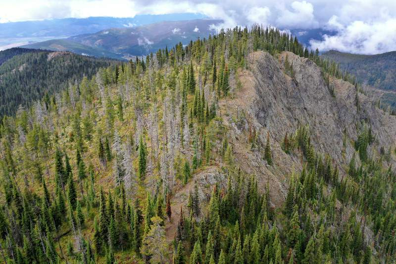 Living and dead whitebark pine stand together at a U.S. Forest Service research and restoration site at the Snowbowl ski area in the Lolo National Forest September 19, 2019 in Missoula, Montana. The site has been studied since 1994 and many of the whitebark pine there were killed by blister rust and those that survived were later killed by the mountain pine beetle. According to the 2017 Montana Climate Assessment, the annual average temperatures in the state has increased 2.5 degrees Fahrenheit since 1950 and is projected to increase by approximately 3.0 to 7.0 degrees by midcentury. As climate change makes summers hotter and drier in the Northern Rockies, forests are threatened with increasing wildfire activity, deadly pathogens and insect infestations, including the mountain pine beetle outbreak which has killed more than six million acres of forest across Montana since 2000.  (Photo by Chip Somodevilla/Getty Images)