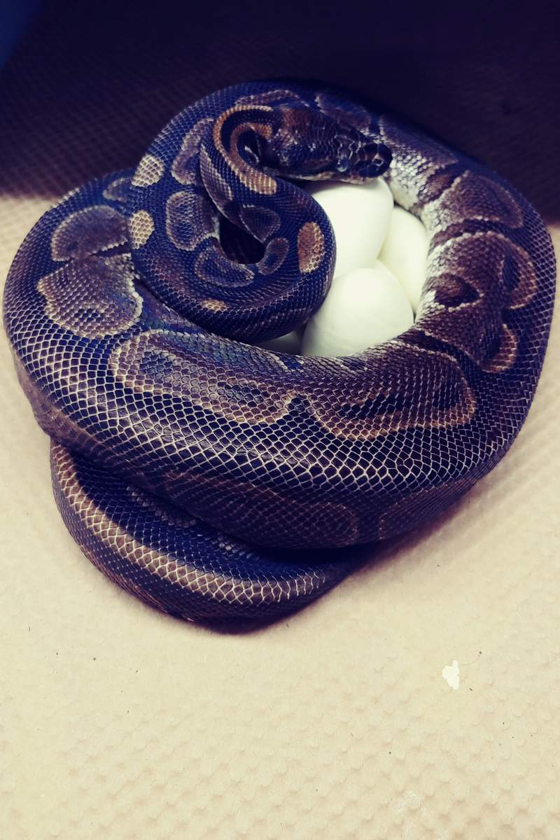 This photo provided by the Saint Louis Zoo shows,a 62-year-old ball python curled up around her eggs July 23, 2020. Experts at the St. Louis Zoo are trying to figure out how a 62-year-old ball python laid seven eggs despite not being near a male python for at least two decades. (Chawna Schuette/Saint Louis Zoo via AP)
